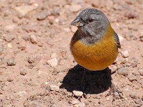 kleiner vogel mit rotem bauch