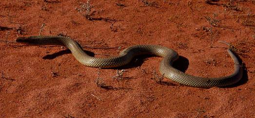 Schlangen Australien