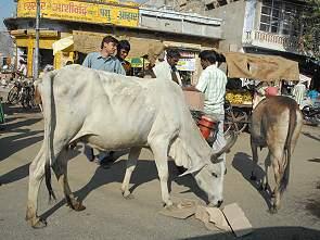 was fressen kühe