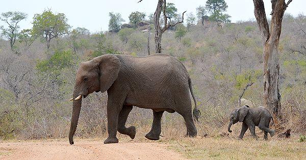 der größte elefant der welt